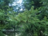 Erehdyttävästi douglaskuusta muistuttava metsäkuusi, Picea abies form, Mäkisenmäen Arboretumissa