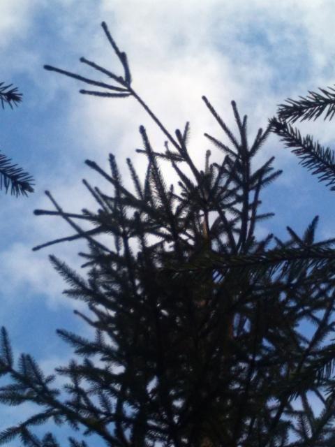 Suppuneulaskuusi, Picea abies form, Mäkisenmäen Arboretumissa