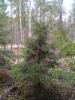 Kääpiökuusi, Picea abies f. nana, Mäkisenmäen Arboretumissa