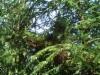 """Viuhkamainen kuusen tuulenpesä, Picea abies """"Ikola's Fan 2"""", Mäkisenmäen Arboretumissa"""