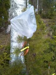 Männyn varttaminen, kuva 7. Valmis varte huputetaan muovipussilla, jonka yläkulmassa on reikä ilmanvaihdon varmistamiseksi. Tämä menetelmä parantaa vartteen onnistumismahdollisuuksia ulkona kasvaviin perusrunkoihin.