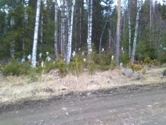 Pussitettuja männyn (Pinus sylvestris) ja kuusen (Picea abies) vartteita ~200 kpl
