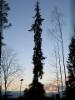 Suuri dikotyypin surukuusi Picea abies f. pendula
