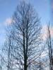 Kartiohaapa Populus tremula f. pyramidalis