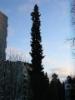 Suuri pylväskuusi, Picea abies f. columnaris