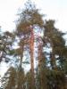 Erikoinen käärmemäinen riippamänty, Pinus sylvestris f. pendula