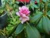 Rhododendron 'Pekka'