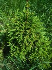 Kääpiökuusi Picea abies 'Mörkö'