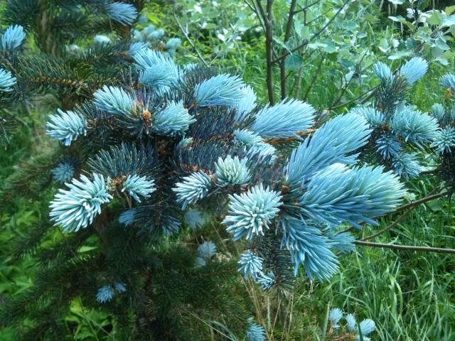 Hopeakuusi Picea pungens 'Hoopsii'