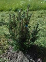 Vuorimänty, Pinus mugo 'Arpad'