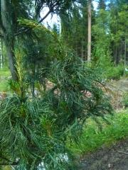 Kierreneulas strobusmänty, Pinus strobus 'Torulosa'