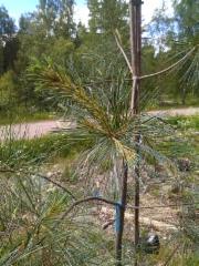Sinertäväneulas strobusmänty, Pinus strobus 'Himmelblau'