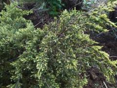 Kirjosinikataja, Juniperus squamata 'Dream Joy'