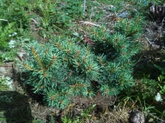 Pallomänty, Pinus sylvestris 'Brobeck's Watermelon'