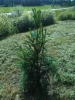 Pilarikuusi, Picea abies 'Pyramidata'
