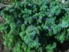 Pallositkankuusi, Picea sitchensis 'Vapenka'