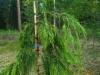 Lawsoninsypressi, Chamaecyparis lawsoniana 'Filip's Sunsation'
