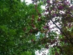 Marjaomenapensaan Malus toringo var. sargentii isokukkainen muunnos ja purppuraomenapuu Malus 'Marjatta'