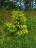 Kultakuusi, Picea abies f. aurea