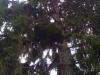 Tuuhea pallokuusi, Picea abies f. globosa