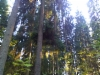 Pallokuusi, Picea abies f. globosa, Lahti