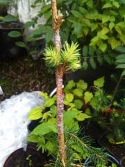 Kääpiöpallohopeakuusen Picea pungens 'Pali' 1-vuotias jalonne