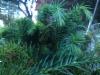 Laakaverso sugi, Cryptomeria japonica 'Kilmacurragh'