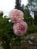 Ranskanruusu, Rosa 'Duchesse De Montebello'