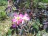 Punalehtiruusu, Rosa glauca