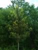 Kultamänty Pinus sylvestris 'Juhani' (f. aurea), Loviisa