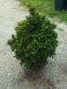 Pieni kääpiökuusi, Picea abies f. nana, Kausala. Siirretty Kuivannon Arboretumista Mäkisenmäen Arboretumiin.