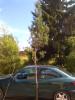 Pilarimänty, Pinus sylvestris f. fastigiata, siirretty Kuivannon Arboretumista Mäkisenmäen Arboretumiin