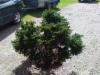 Pallokuusi, Picea abies 'Sampon Pallo' (f. globosa), siirretty Kuivannon Arboretumista Mäkisenmäen Arboretumiin