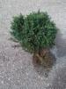 Kääpiöserbiankuusi, Picea omorika 'Karel', siirretty Kuivannon Arboretumista Mäkisenmäen Arboretumiin