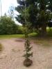 Kääpiö/sikermäkuusi Picea abies 'Lombartzii', siirretty Kuivannon Arboretumista Mäkisenmäen Arboretumiin