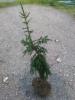 Kumopatakuusi Picea abies 'Hiisi' (f. cubans), siirretty Kuivannon Arboretumista Mäkisenmäen Arboretumiin