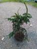 Käpykuusi Picea abies 'Acrocona', siirretty Kuivannon Arboretumista Mäkisenmäen Arboretumiin