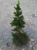 Kääpiökuusi, Picea abies 'Will's Zwerg', siirretty Kuivannon Arboretumista Mäkisenmäen Arboretumiin