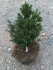 Kääpiökuusi, Picea abies 'Tompa', siirretty Kuivannon Arboretumista Mäkisenmäen Arboretumiin