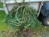 Riippakuusi, Picea abies 'Frohburg', siirretty Kuivannon Arboretumista Mäkisenmäen Arboretumiin