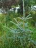 Hopeakuusen Picea pungens siementaimi, jolla on erikoisen lyhyet ja ohuet neulaset