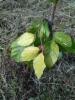Keltariippapyökki, Fagus sylvatica 'Aurea Pendula'