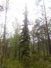 Surukuusi, Picea abies f. pendula, Vierumäki