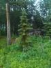 Riippamustakuusi, Picea mariana (weeping form)