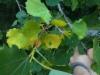 """Kirjohaapa, Populus tremula f. variegata, iso puu jossa valtaosa oksista on tällaisten """"oksennus""""lehtien peitossa."""