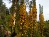 Lapinnauhus, Ligularia 'Hietala'