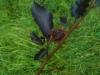 Punapyökki, Fagus sylvatica 'Purpurea Latifolia'