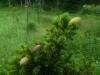 Kapea kääpiökuusi, Picea abies f. nana, Kausala