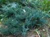 Sinilaakakataja, Juniperus horizontalis 'Wiltonii'