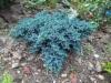 Kääpiösinikataja, Juniperus squamata 'Blue Star'